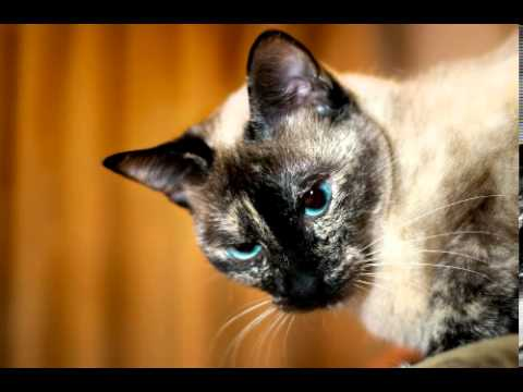 Siamese Cat Facts - Facts About Siamese Cats