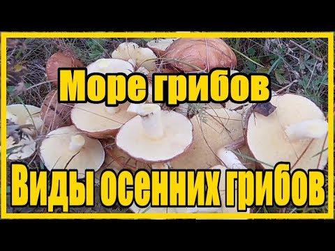 Море грибов / Тихая охота / Виды осенних грибов