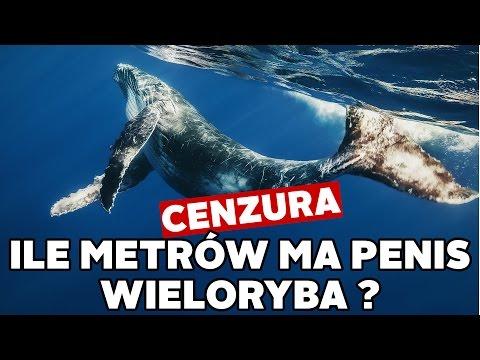 Jak duży jest penis wieloryba
