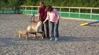 Dandie Dinmont Terrier Dog Jackson Does His First Full Agility Course Happy Funny Dog