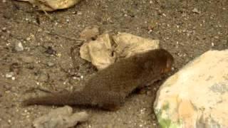 Biotropica , une Mangouste naine cherche quelque chose