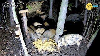 Stado dzików w karmisku w lesie na Podkarpaciu