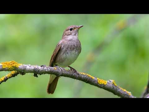 Звуки птиц в лесу (Пение соловья)   (37 Минут)
