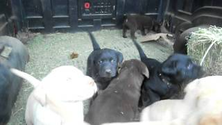Day 35. Pure Bread Labrador Retriever Puppies 5 Weeks Old.