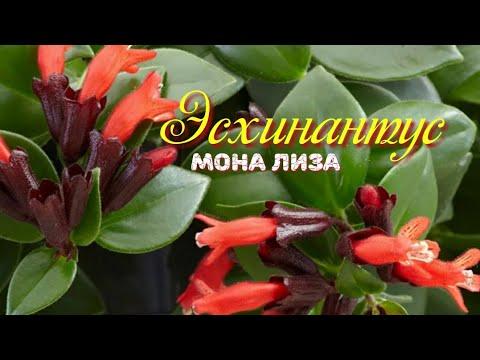 Эсхинантус Мона Лиза.Мои комнатные цветы Уход и размножение