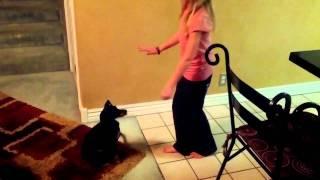Miniature Pinscher Dog Trick