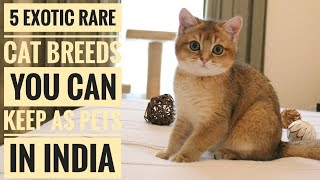 5 Exotic Rare Cat Breeds You Can Keep As Pets In India. | Singh Exotics.