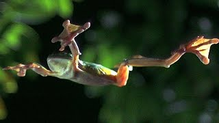 Gliding Leaf Frogs - Planet Earth - BBC Earth