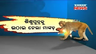 Monkey Flees With Baby In Banki, Forest Dept Fi...
