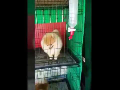 Pomeranian Dog Breed   small Breed   Part 1