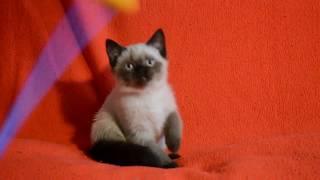 Купить шотландского котенка редкого окраса. Котята для Вас!