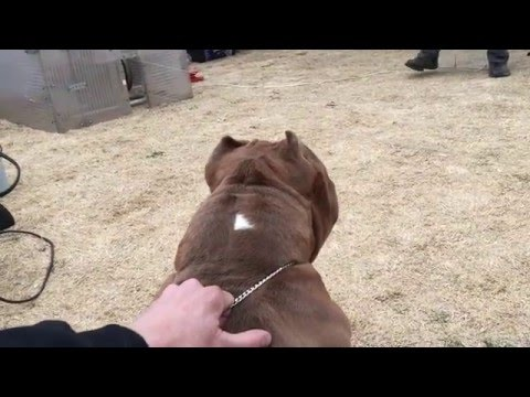 American Pocket Bully -  Working Dog - ABKC GRCH Thee Buss