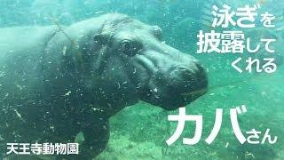 『天王寺動物園』大阪市天王寺区 大きなカバさんも水の中ではス~イスイ...
