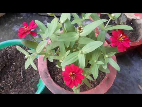 Ll Zinia Plant Ki Repotting Or Care Tips Ll🌷🌷