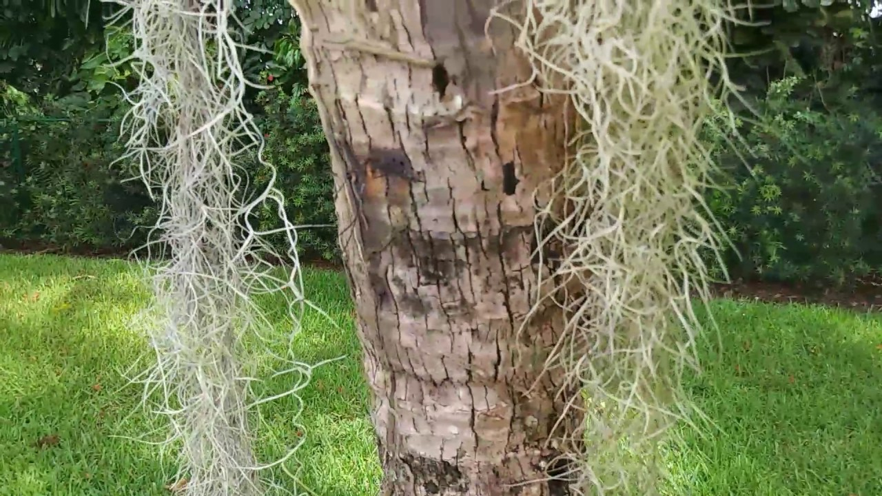 Improper Irrigation Of Palm Trees Will Cause Trunk Rot
