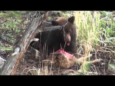 Bear eats live elk calf - Yellowstone National Park
