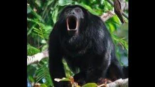 2014 02 25 Monkey in Shelter Bay Panama