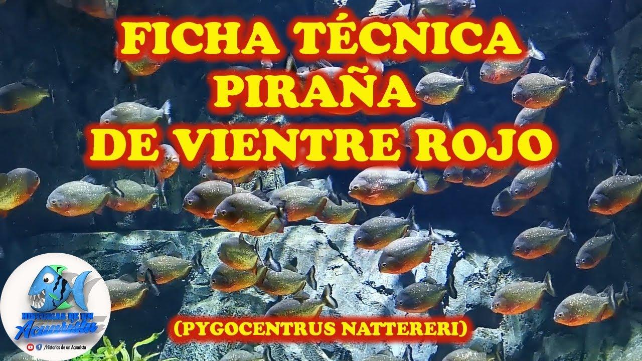 Download FICHA TÉCNICA PIRAÑA DE VIENTRE ROJO (Pygocentrus nattereri)