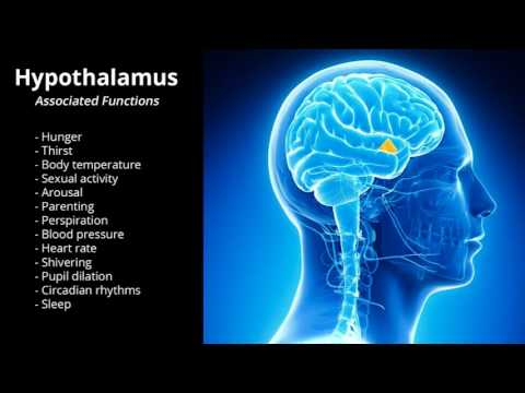Image result for hypothalamus funtins