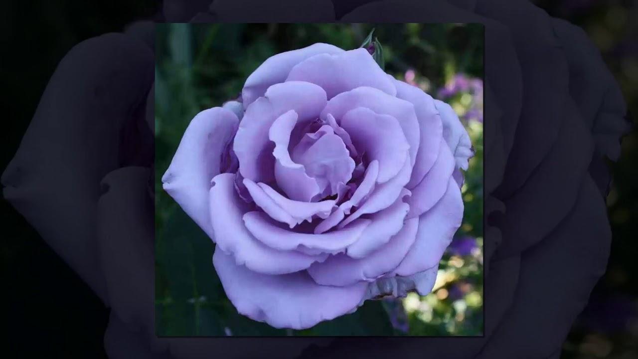 Rosas Lilas Hermosas Para Mi Prima Marisela Donato Dj Kikito Youtube
