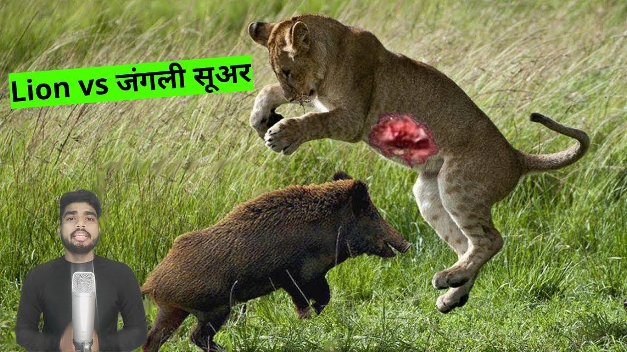 #shorts देखिये जब जंगली सूअर ने शेर और शेरनी को ही उठा के पटक दिया   lion vs pig
