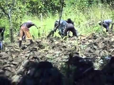 La culture de l'igname à Agbang Togo