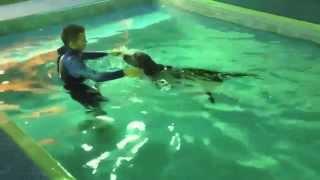 Labrador Retriever Learns To Swim!