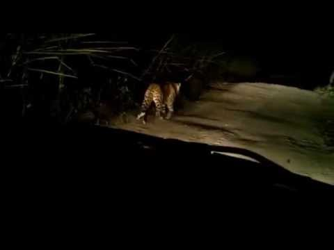 Leopard in Junnar | जुन्नरमधील बिबट्या
