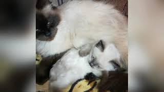 Невская маскарадная и котенок