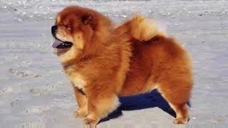 Chow Chow barking  - DOG BARKING Sound Effect High Quality