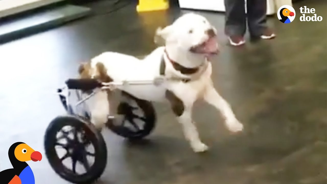 Happy Dog Reacts to New Wheelchair | The Dodo
