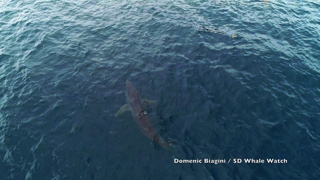Shark Week? Here's the real news about sharks in Southern California