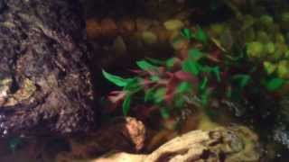 40 gallon turtle tank- yellow belly slider and Mississippi map turtle