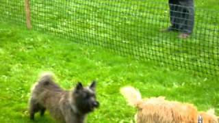 Cairn Terrier Fun Day Mouse Race 2