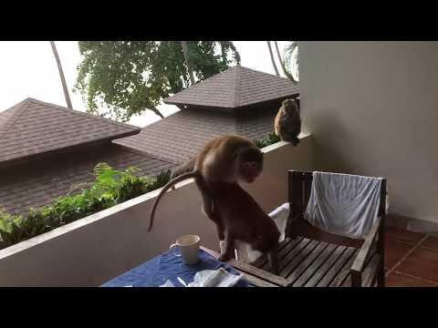 Обезьяны трахаются залезли на балкон Таиланд Ко Чанг  Thailand Koh Chang