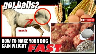 dogo argentino-got balls-How to make your dog gain weight fast