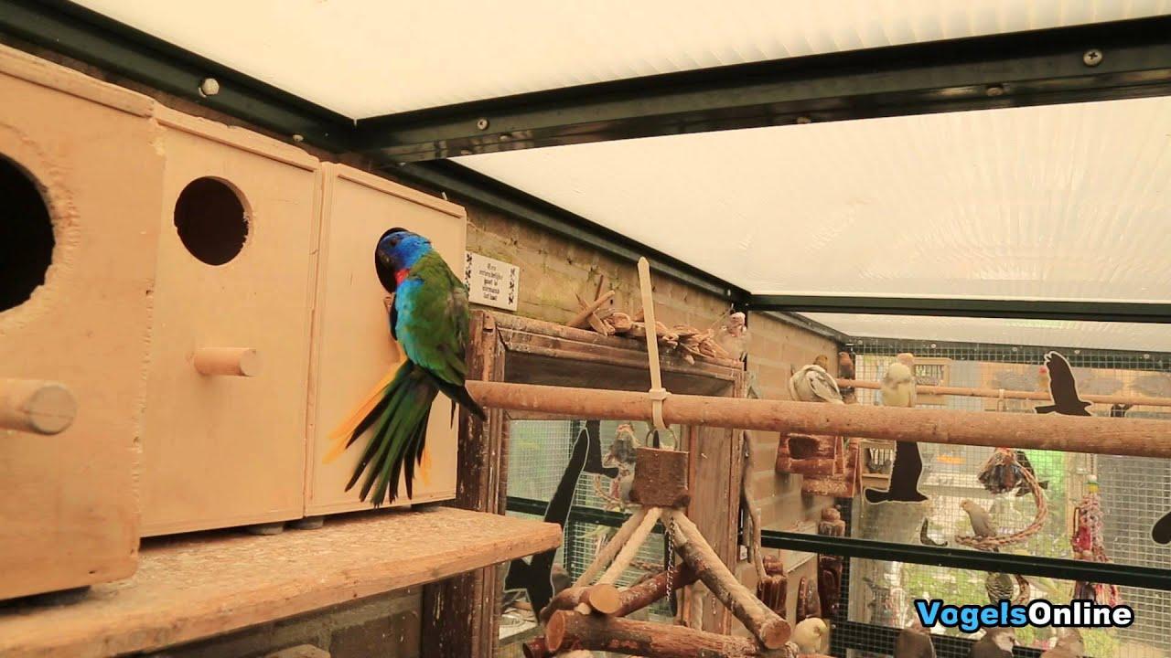 parrot vogel