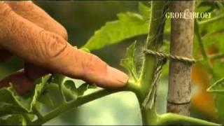 Tomaten kweken en dieven - Groei & Bloei