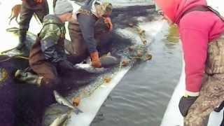 Bottom Feeders Mississippi Ice Bounty LyubakaVideo