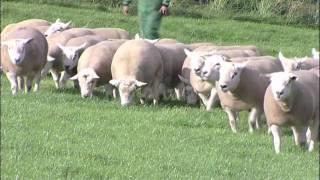 Drinkstone Texel Rams