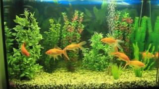 Мои любимые Кометы (золотые рыбки) растут.Баночка 380 литров