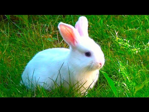 White Baby Bunny With Blue Eyes Walking Outside First Time