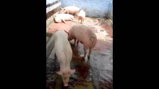 Pig farming in india delhi ncr