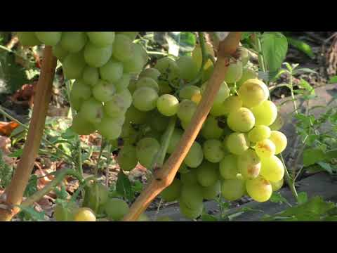Восторг, ранний сорт винограда