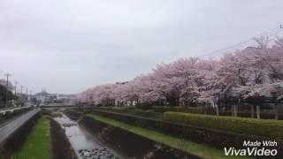 Japan 🇯🇵 Sakura