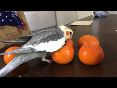 Benjamin birbing with oranges