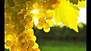Обзор виноградника на 24 июля-Обработки начало созревания виноградная школка.