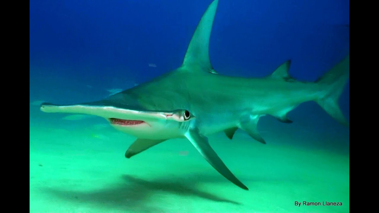 hammerhead sharks Of all the animals in the oceans, the hammerhead shark may be one of the strangest looking the exact purpose of the wide, flat head is a mystery, but severa.