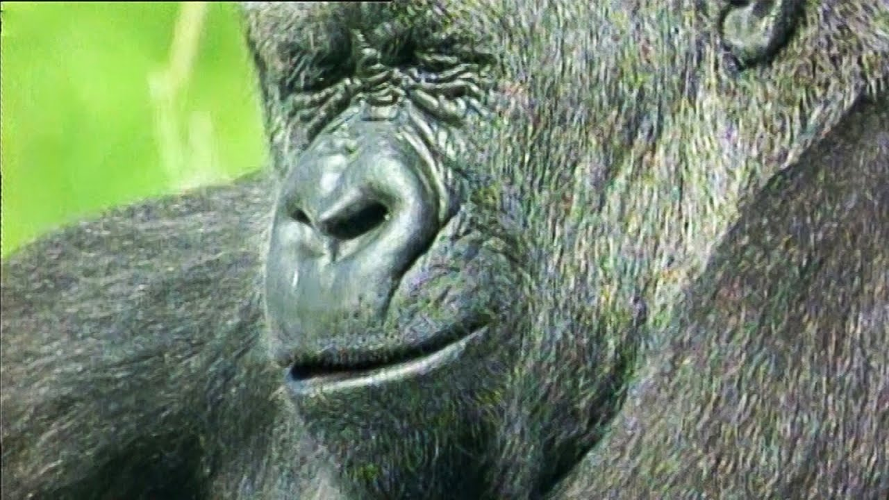 Gorilla Wonders Why He Can't Get a Job | Walk On The Wild Side | Funny Talking Animals | BBC Earth