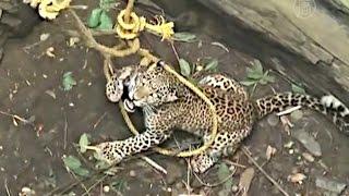 В Индии из колодца вытащили очередного леопарда (новости)